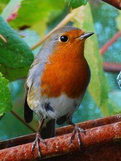 The European robin (Erithacus rubecula). Pretty Birds, Love Birds, Beautiful Birds, Animals Beautiful, Small Birds, Little Birds, Colorful Birds, European Robin, Robin Redbreast