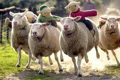 sheep race!