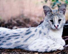 | Black Serval & White Serval vs Normal Golden Serval