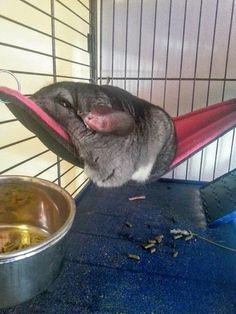 Melted chinchilla sleeping on his hammock