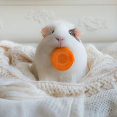 Meet BooBoo the Guinea Pig and Friends (10 Pics) | Pleated-Jeans.com