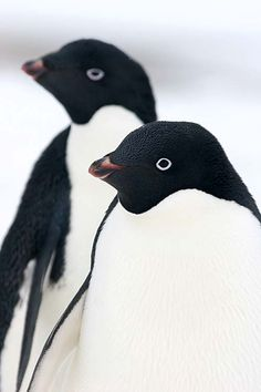 whiteezombiee: atlasofvanity: Among the penguins || via .