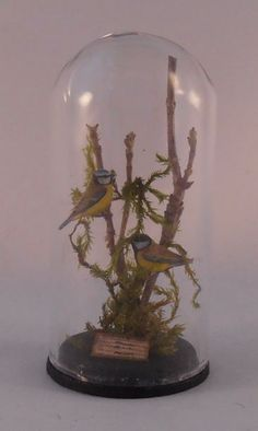 Bird Display Under Glass Dome #2 by Dominique Autin - $135.00 : Swan House Miniatures, Artisan Miniatures for Dollhouses and Roomboxes