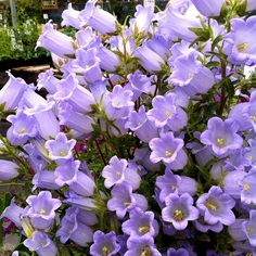 Campanula incurva! Is! Blooming!! #floweroftheday #plantstagram @ Annie's Annuals & Perennials