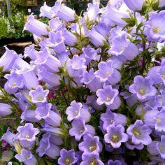 Campanula incurva! Is! Blooming!! #floweroftheday #plantstagram @ Annie's Annuals & Perennials