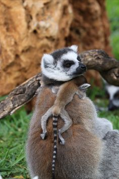 Listed as endangered, these two ring-tailed lemurs were born on Easter Sunday. Animals And Pets, Baby Animals, Cute Animals, Primates, Mammals, Honolulu Zoo, Lemurs, Life Is Precious, How To Have Twins