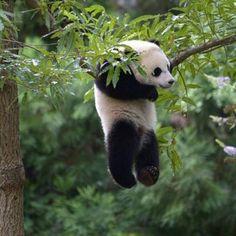 ぶら下がってくつろぎ中のパンダ♪