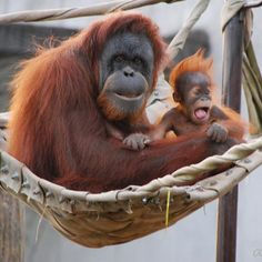 I love orangutans more than anything.