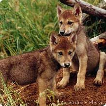 """February 2012: The Canadian government plans to kill thousands of wolves to """"rescue"""" caribou impacted by loss of habitat from tar sands development. Take action to save wildlife from dirty oil: bit.ly/yCq7SA"""