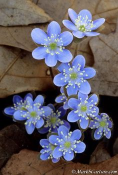 Blue Hepatica Flowers