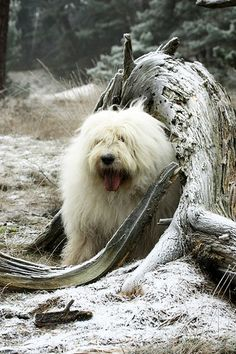 Boy ( walk in the woods ) English Dogs, Old English Sheepdog, Cute Puppies, Cute Dogs, Ship Dog, English Shepherd, Bearded Collie, Kinds Of Dogs, Lovely Creatures