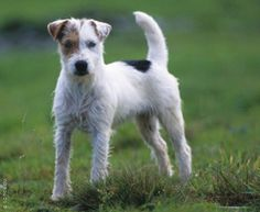 Parson Russell Terrier Dog Breed history and some interesting facts
