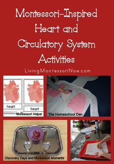 Montessori-Inspired Heart and Circulatory System Activities - roundup of activities for preschoolers on up for American Heart Month or a study of the human body Montessori Science, Kindergarten Science, Science Classroom, Teaching Science, Science For Kids, Life Science, Teaching Ideas, Montessori Elementary, Montessori Classroom