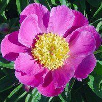 Hollingsworth Peonies - Early Midseason Pehrson's Violet Frisbee
