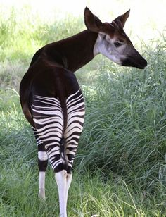 Okapi, which resembles both a zebra and a giraffe, is most closely related to the giraffe.  They are herbivores and live in the rainforests of central Africa.