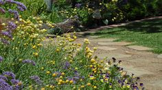 A sunny mix of Billy Buttons and Australian everlasting daisies in our Kew Garden