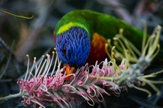 www.onlinecameraed.com Photography using a prime lens can be a lot of fun.  maybe a bit more work but fun all the same.  I love Rainbow Lorikeets and they love my grevilleas. #primelens #primelensphotography #lorikeetimages