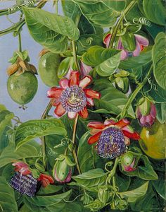 Flowers and Fruit of the Maricojas Passion Flower  by Marianne North  Location: Brazil  Plants: Passion Flower, Passiflora alata  (C) Kew Gardens, London  http://www.kew.org/mng/gallery/plant-portraits