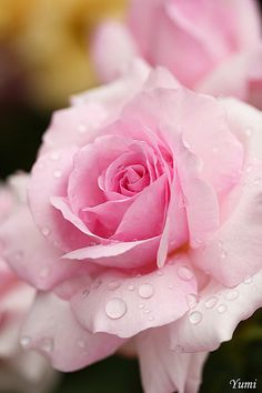 Rose with raindrops
