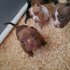 Pitbull Terrier 19 Reasons Why Pit Bull Puppies Are The Most Dangerous Creatures On Earth - Furrocious beasts. Pitbull Terrier, Terrier Dogs, Pitbull Pups, Chihuahua Dogs, Bull Terriers, Terrier Mix, Funny Pitbull, Cute Baby Animals, Animals And Pets