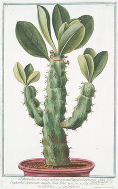 Tithymalus, aizooides,arborescens, caudce. angulari, spinosus, Nerii foliis. Euphorbio-Spinosum, ample Nerii folio = Euforbio = Euphorbe. From New York Public Library Digital Collections.