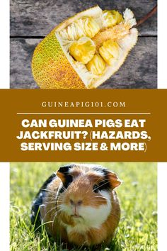 Can Guinea Pigs Eat Jackfruit? (Hazards, Serving size & more) (Good or Bad? Find out!) I how to care for pet guinea pigs I pet guinea pig care I small animal care I guinea pig information I information on pet guinea pigs I what to do with pet guinea pigs I things to know about pet guinea pigs I pet guinea pig tips I care tips for pet guinea pigs I small pet homes I guinea pig cages I what can guinea pigs eat I food for guinea pigs I #guineapig #guineapigfoodplan #smallpets #pets Guinea Pig Food, Pet Guinea Pigs, Guinea Pig Care, Guinea Pig Information, Pigs Eating, Pet Home, Animal Care, Serving Size, Things To Know