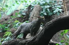 The rare jaguarundi wild cat living in the inhospitable region of the the U.-Mexico border is under threat of extinction. Fish and Wildlife Service for developing a recovery plan for this endangered species. Small Wild Cats, Big Cats, Kittens Cutest, Cute Cats, Ecuador, African Wild Cat, Wild Cat Species, Endangered Species, Rusty Spotted Cat