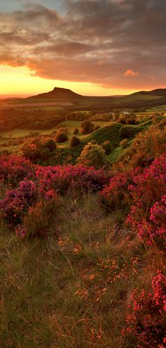 Moorland heather at Roseberry Topping in North Yorkshire, England