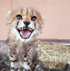 Cheetahs, Young Animal, Fox, Cute, Animals, Beautiful, Animales, Animaux, Kawaii