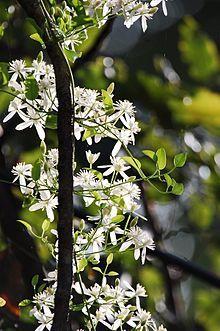 Clematis ternifolia (syn. C. paniculata) N. Zealand)