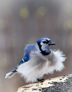 Bad Feather Day for this Blue Jay