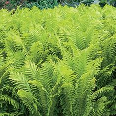 The True Ostrich Fern Springhill Nursery Anita Margarita Zone 7 Shade Perennials