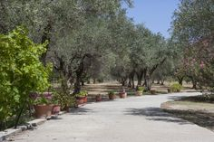 Colourful geranium pots lining driveway