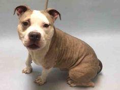 ●8•15•16 STILL THERE●RANGE - A1085001 - Urgent Brooklyn - MALE BUFF/WHITE STAFFORDSHIRE MIX, 3 Yrs - STRAY - NO HOLD Reason STRAY - Intake 08/11/16 Due Out 08/14/16