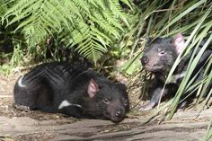 Despite its cartoon reputation for being a whirling dervish, a Tasmanian devil is actually slow and placid. Except at mealtime.