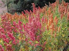 Quinoa Ornamental enough to deserve a place in the border, but a productive and thoroughly edible quinoa as well. Reaching only 4 feet in height, this variety offers a riot of color—orange, pink, burgundy, white and yellow! Leaves are also edible, being similar to Lamb's Quarters (a close relative).