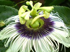 Flor de Maracujá ( passionflower)