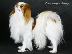 """I have 2 Japanese Chin dogs and they are the most beautiful and loving pups that anyone could ask for. They are my """"babies"""" now that my real babies are all grown up. If you are looking for a dog who is sweet, smart and wants to be by your side 24/7, the JC is definitely for you."""
