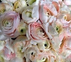 Pale Pink Japanese Ranunculus