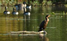 Cormorant in Silver Lake