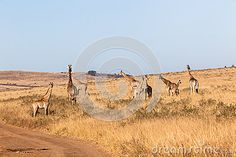 Photo about Wildlife animals herd of Giraffes with calf morning winter landscape wilderness park reserve. Image of reserve, terrain, animals - 41299531 Winter Landscape, Giraffes, Wilderness, Monument Valley, Camel, Places To Visit, Wildlife, Stock Photos, Park