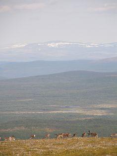 Reindeers in top of Finland, in Utsjoki. Via Flickr. ---- (via Amazing Finland: design, nature, travel)