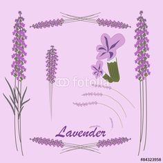 vector illustration of lavender flowers and leaves