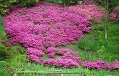 почвопокровные цветы