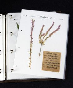 Calluna vulgaris ist eine winterharte, immergrüne Wildpflanze und zählt zu den Heidekrautgewächsen. Sie ist weltweit verbreitet. Ihr Verbreitungsschwerpunkt liegt in Nord- und Mitteleuropa. Dort ist die Pflanze an Kiefernwäldern, in Mooren, Heiden und mageren Weiden zu finden. Sie bevorzugt sandige Böden und ist ein Säurezeiger. In Nordamerika gilt sie als Neophyt und wurde dort im 19. Jahrhundert von schottischen Einwanderern ins Land gebracht.