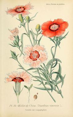 img/dessins plantes et fleurs jardins et appartements/dessin de fleur de jardin 0085 oeillet de chine - dianthus sinensis.jpg