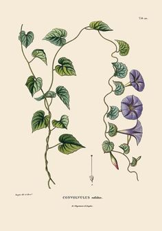 from the book Alexander von Humboldt and the Botanical Exploration of the Americas
