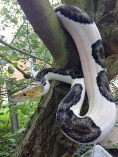 Beautiful pied retic (Python)