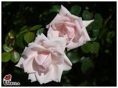 Roseira trepadeira 'Boticário'