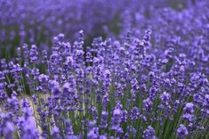 How To Prune Lavender Plant To Promote More Flowers - I Love Herbalism Growing Lavender, Growing Herbs, Lavender Flowers, Purple Flowers, Lavander, Natural Mosquito Repellant, Mosquito Repelling Plants, Herb Garden, Vegetable Garden